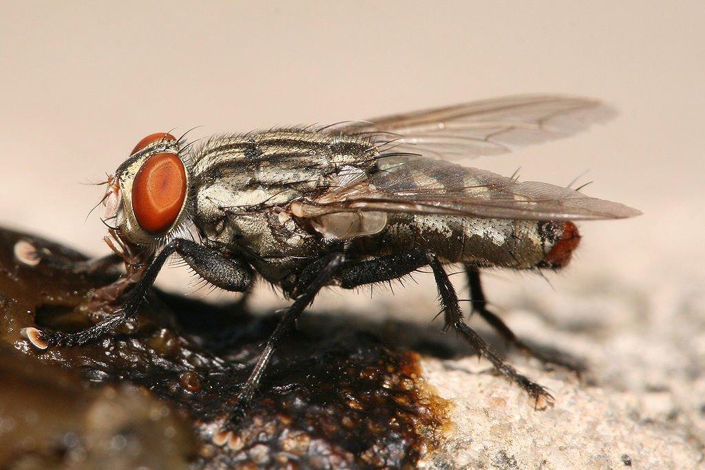lalat daging